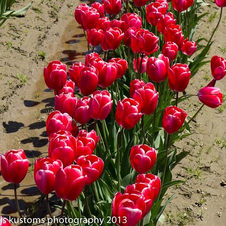 tulips, mt. vernon, laconner 2013